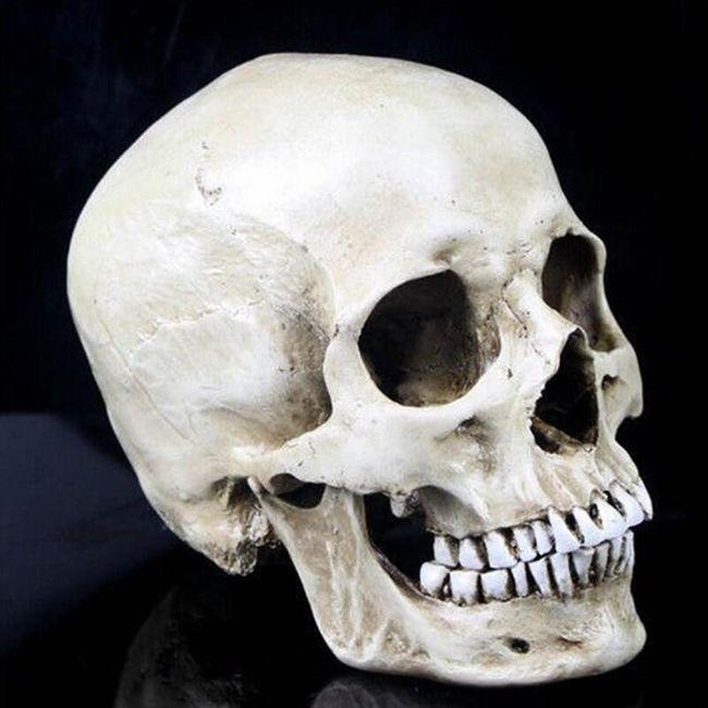 Model lebky v životní velikosti 1