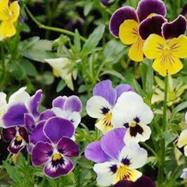Violka zahradní - 100 semínek 1