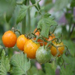 MINIGOLD храстови домати