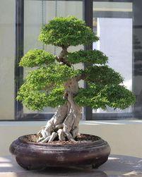 Bonsai juniper - 20 nasionek