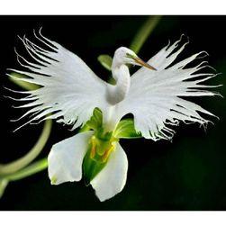Rzadki gatunek białej orchidei - 100 szt. nasion