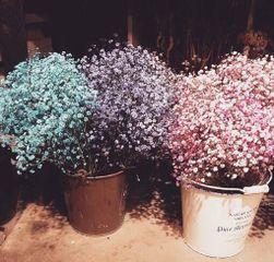 Bahar yıldızı tohumları
