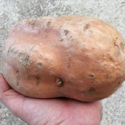 Słodkie ziemniaki - 100 nasion