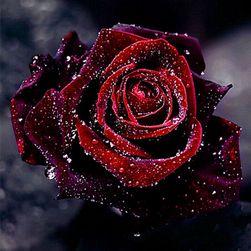 Obraz 5D 30 x 30 cm - Czerwona róża z rosą