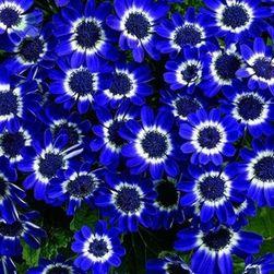 Krostawiec niebieski (cineraria) - 20 sztuk nasion
