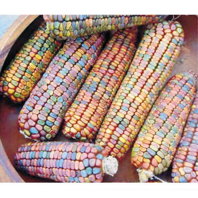 10 nasion kolorowej kukurydzy 1
