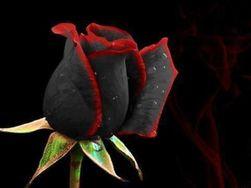 Czarna róża z czerwonymi krawędziami - 100 nasionek
