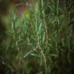 Rozmarýn lékařský semena