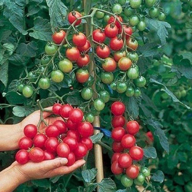 Roșii cherry - pachet de 30 de semințe 1