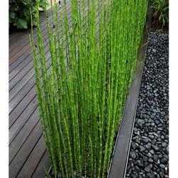Zielony bambus - 60 sztuk nasionek