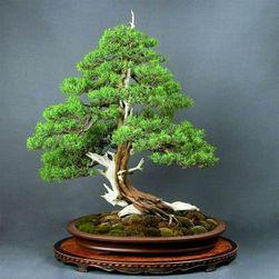 Jałowiec bonsai - 50 nasion