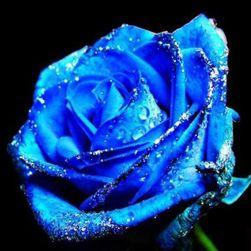 Niebieska róża - 50 nasion