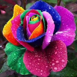 Róża wielobarwna - 100 nasionek
